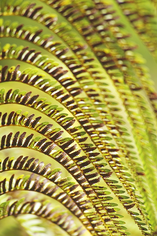 Hawaii, Big Island, close-up of Hapu'u fern.