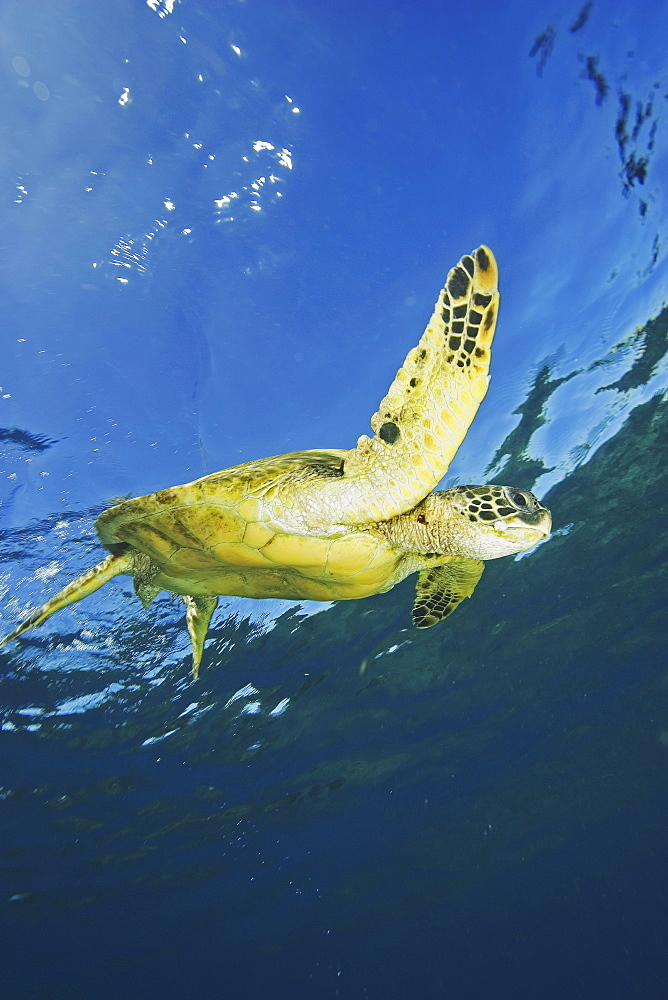 Hawaii, Green Sea Turtle (Chelonia mydas) swimming near surface.