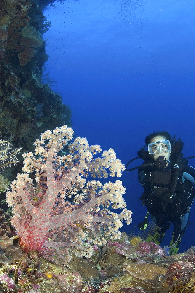 Indonesia, Alcyonarian coral dominate this reef scene with a diver.