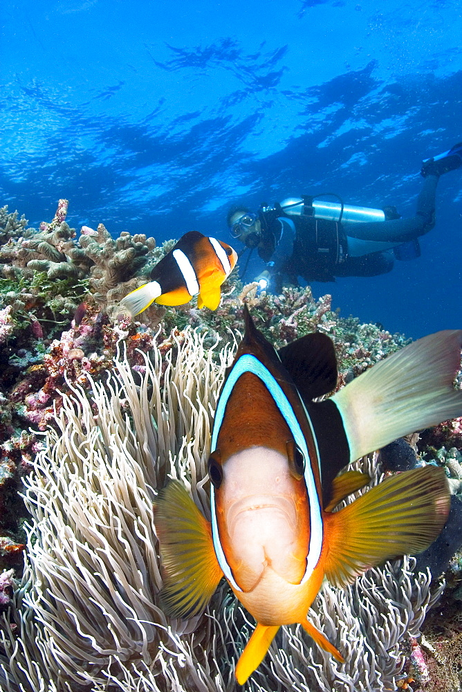 Indonesia, Clark's anemonefish (Amphiprion clarkii) and diver.