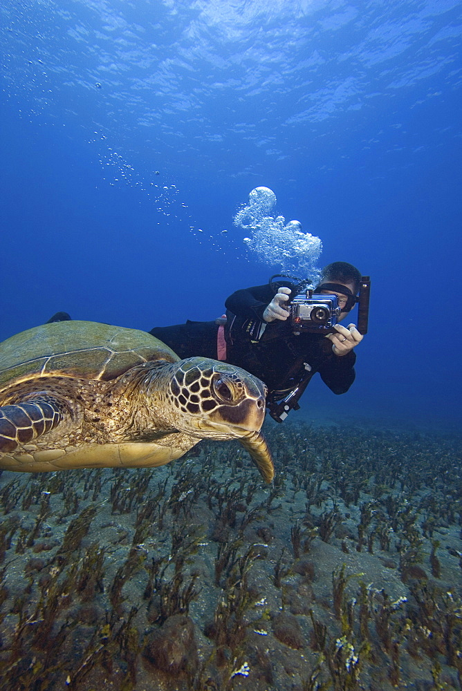 Hawaii, Diver photographing Green Sea Turtle (Chelonia mydas)