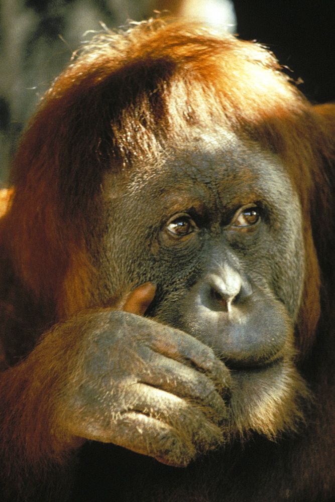 Closeup portrait of an orangutan, hand on cheek over mouth