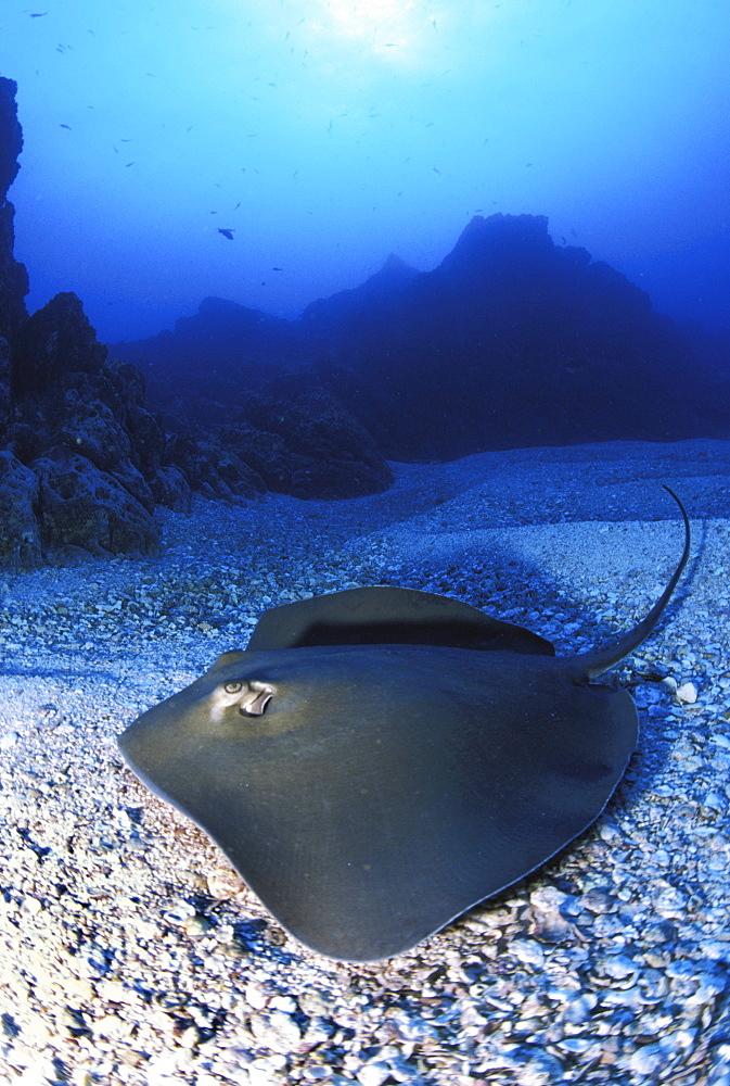 California, Baja, Socorro, Unidentified species of stingray on ocean floor, sunburst above.