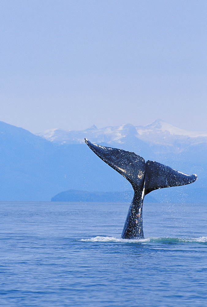 Alaska, Inside Passage, Tongass National Forest, Fluke of a humpback whale.