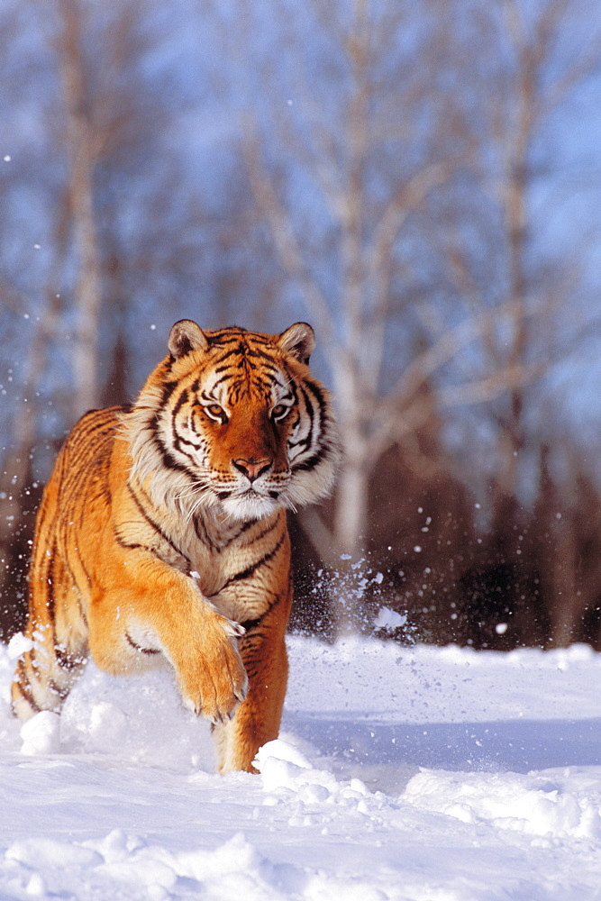 Alaska, Siberian Tiger (Panthera tigris altaica) charging through winter snow.
