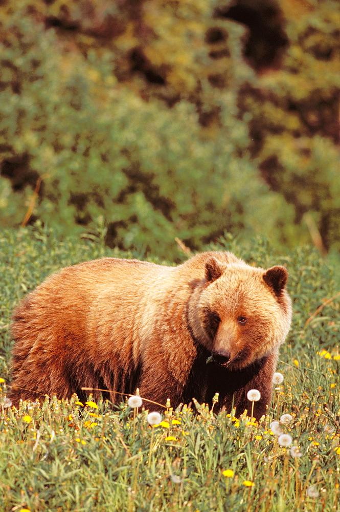 Canada, Yukon, brown bear foraging, Alsek-Tatshenshini Wilderness Park