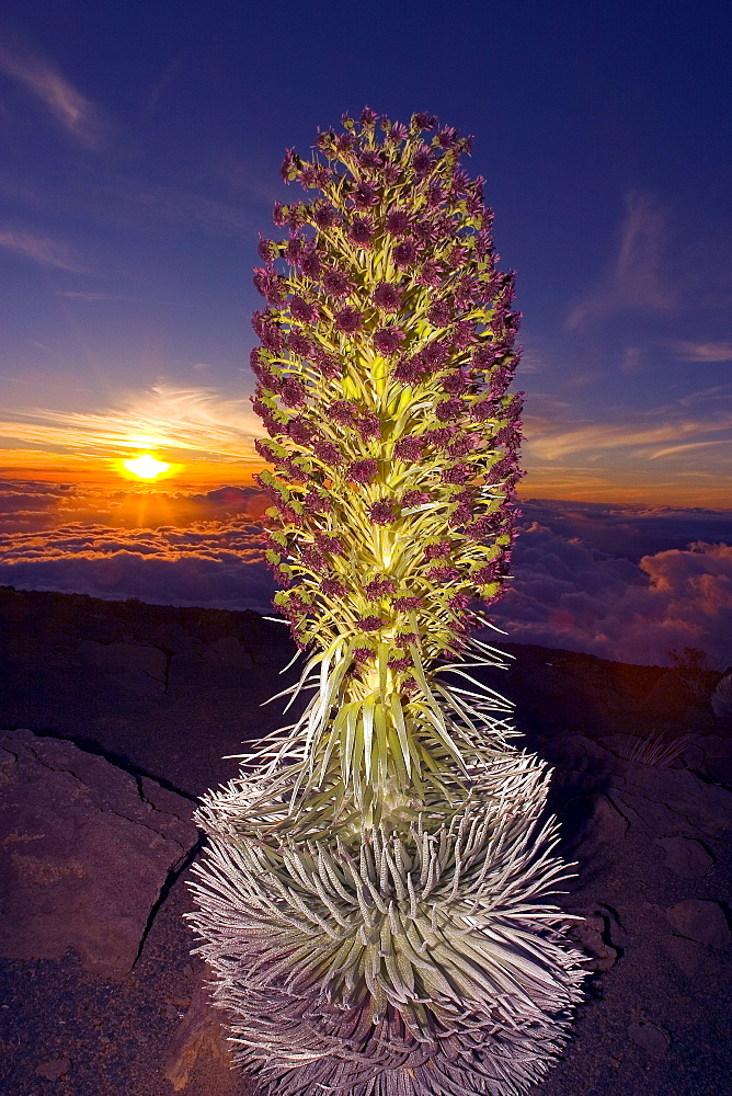 Hawaii, Maui, Haleakala, Silversword (Argyroxiphium sandwicense) Sunset and clouds in background