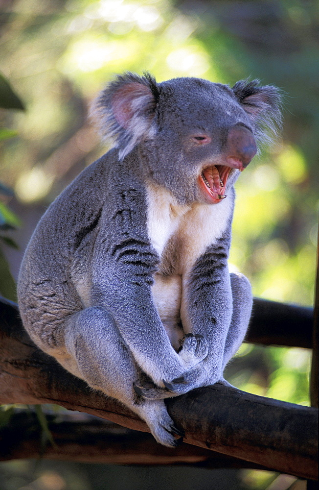 Australia, Full body of Koala (mouth open) in tree against blurry green.