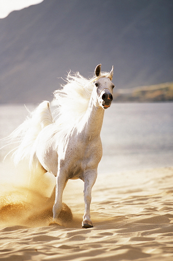 White horse galloping toward camera on beach in morning light. Blurry background