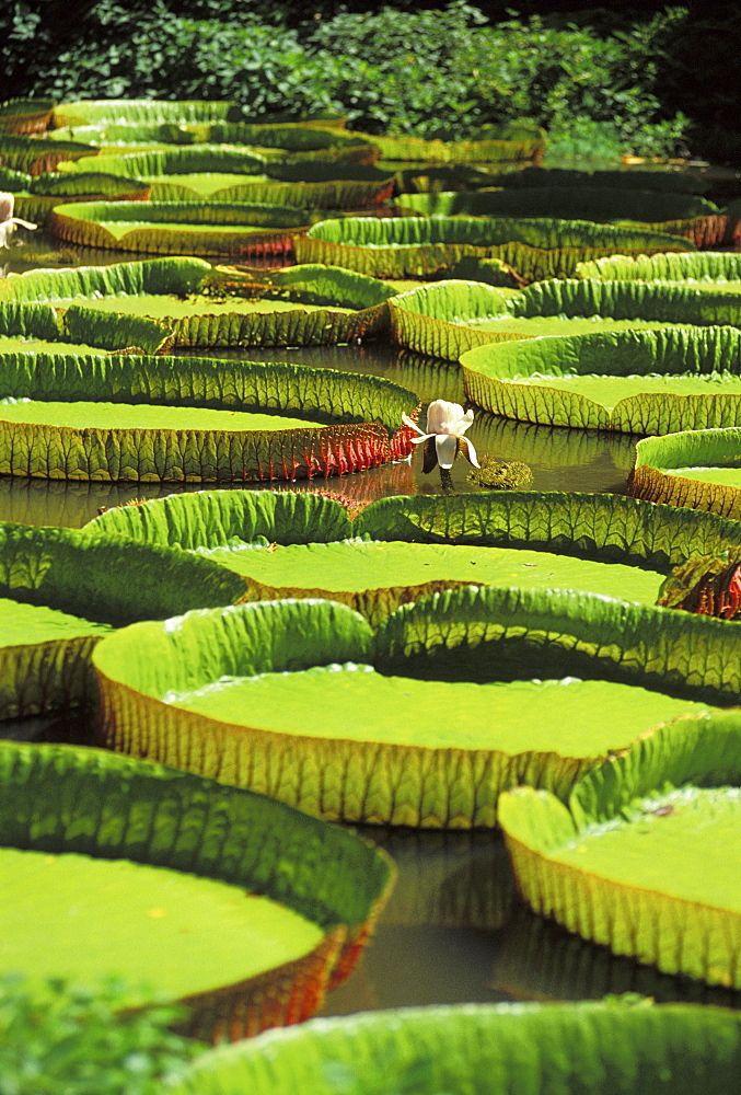 California, Giant lily pads in pond,