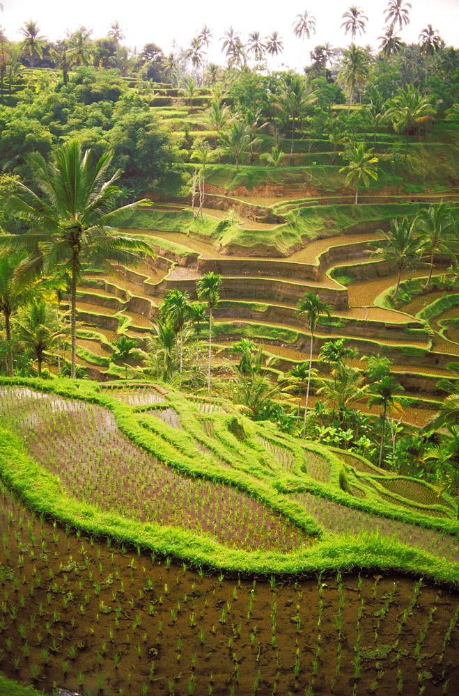 Indonesia, Bali, Indonesia, Rice terraces on hillside, distant view, palm trees.