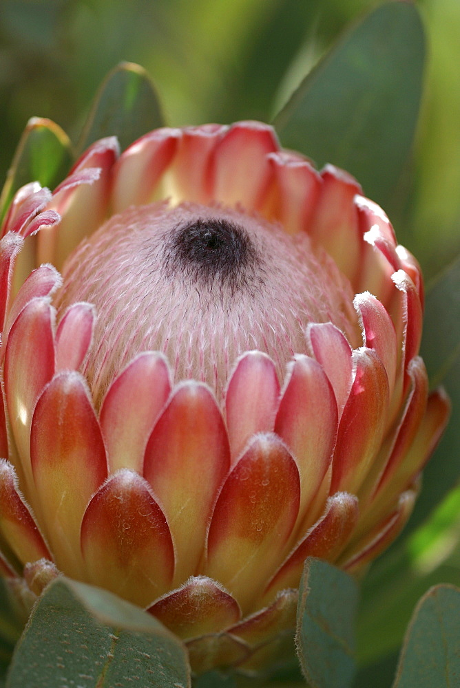 Hawaii, Maui, Kula, Susara Proteas at the Kula Vista Protea Farm.