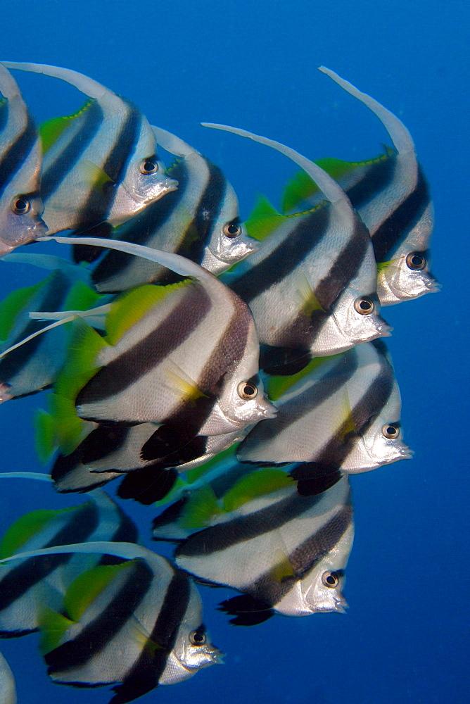Kiribati, Kiritimati (Christmas Island), Pennant Butterflyfish, school, Heniochus diphreutes [For use up to 13x20 only]