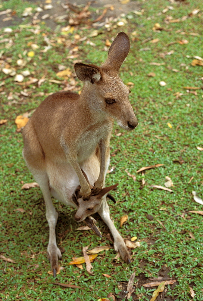 Australia, Mother and joey, Easter Great Kangaroo (Macropus giganteus).