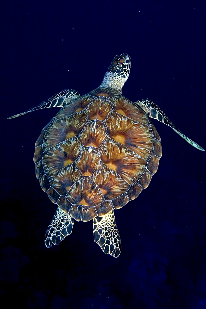 Micronesia, Palau, Green sea turtle (Chelonia mydas) detail of shell contrasts in dark blue water