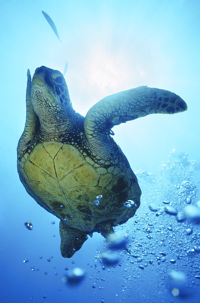 Hawaii, Oahu, Canyons Waikiki, Close-up of Green Sea Turtle (Chelonia mydas)