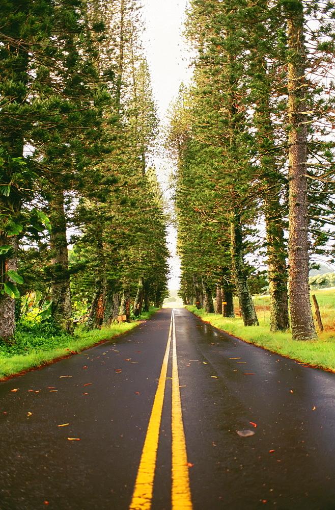Hawaii, Maui, Hana Highway, street lined with tall trees