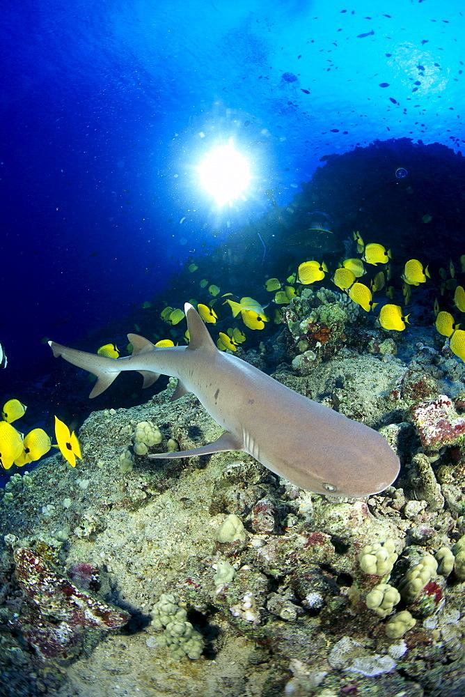 Hawaii, Whitetip Reef Shark (Triaenodon obesus) over reef, Butterflyfish sunburst