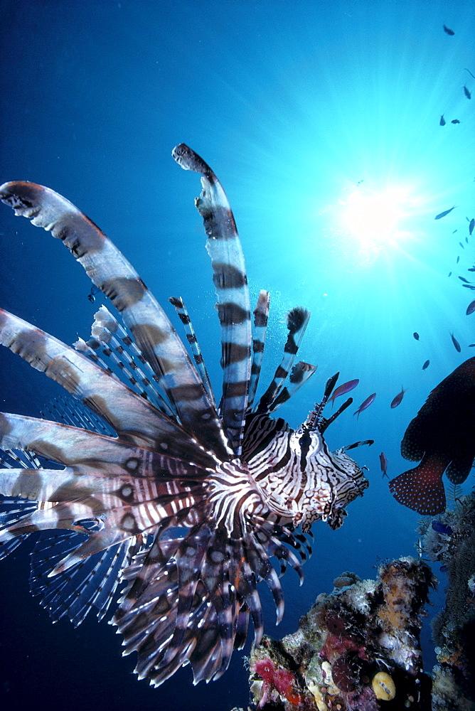 Fiji, Volitan lionfish, close-up side view, sunburst