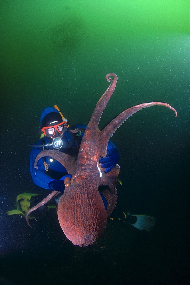Canada, British Columbia, Hornby Island, Diver holds Giant Pacific Octopus, green ocean