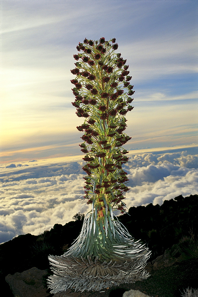 Hawaii, Maui, Silver sword on Haleakala Crater blooming, view overlooking clouds