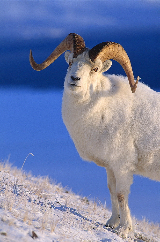 Canada, Kluane National Park, sheep, dall (Ovis dalli) foraging through snow A52B
