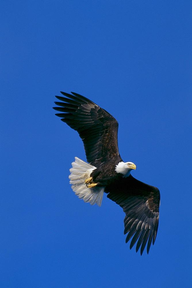 Alaska, Bald Eagle in flight (Haliaeetus leucocephalus) Tongass National Forest B1655