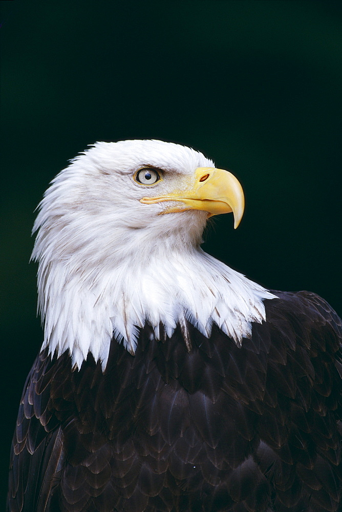 Alaska, Tongass National Forest, Bald Eagle close-up (Haliaeetus leucocephalus) portrait B1642
