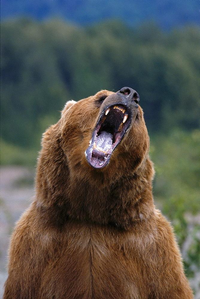 Alaska, Admiralty Island, Brown Bear (Ursus arctos) aggressive posturing, B1645
