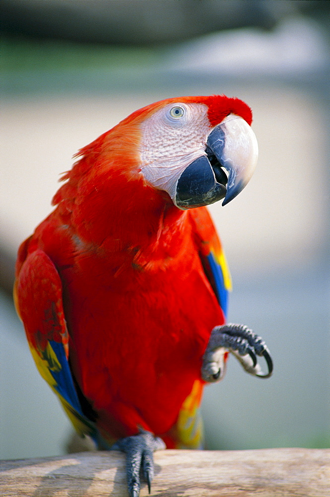 Close-up of red macau lifting claw and tilted head, parrot