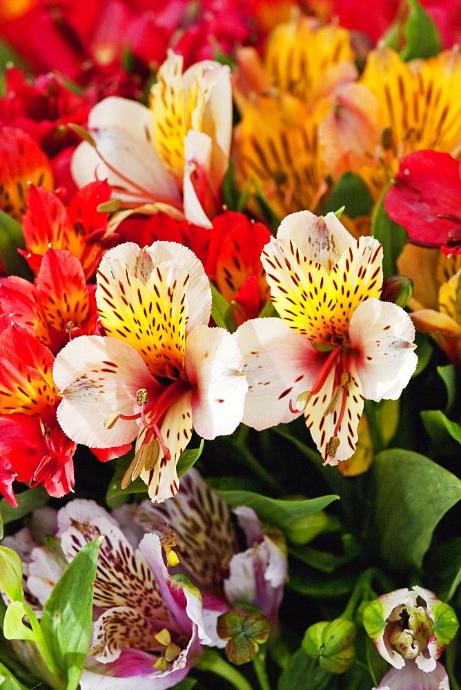 Lilies For Sale, Cuenca, Azuay, Ecuador