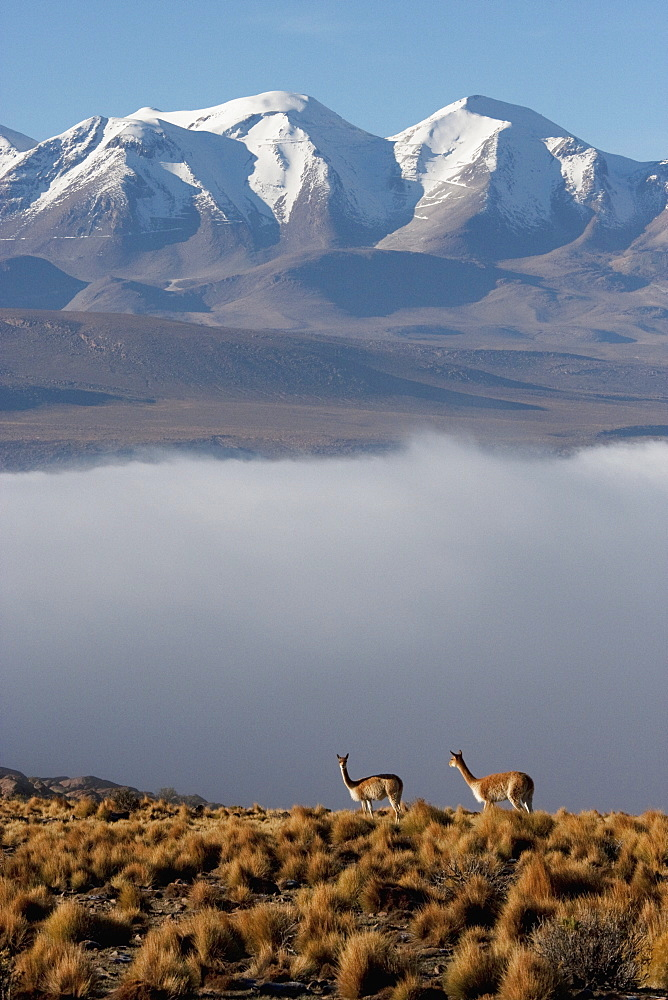 Vicunas (Vicugna Vicugna) On The Altiplano With Aucanquilcha Volcano In The Background, Antofagasta Region, Chile