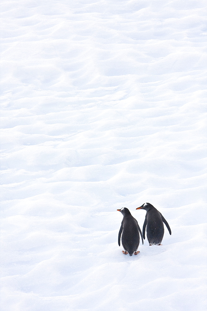Gentoo Penguins Climb The Side Of An Iceberg Floating In Neko Harbour, Antarctica