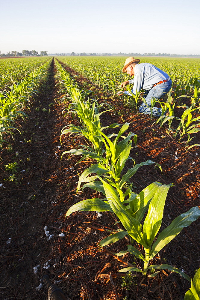 Crop consultant examines no till corn at approximately 8-10 leaf stage, growing on bedded land where previous crop of no till cotton was produced, England, Arkansas, United States of America
