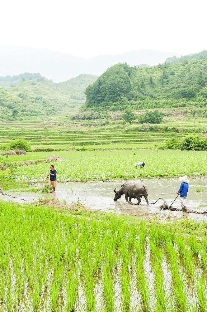 Farmers work in the rice fields in a small village near to Wuyuan, Jiangxi province, China