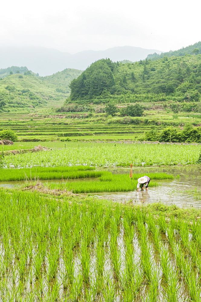 Rice fields in a small village near to Wuyuan, Jiangxi province, China