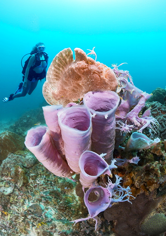 Diver and a Commerson's frogfish (Antennarius commersoni) perched on a tube sponge off Apo Island, Philippines