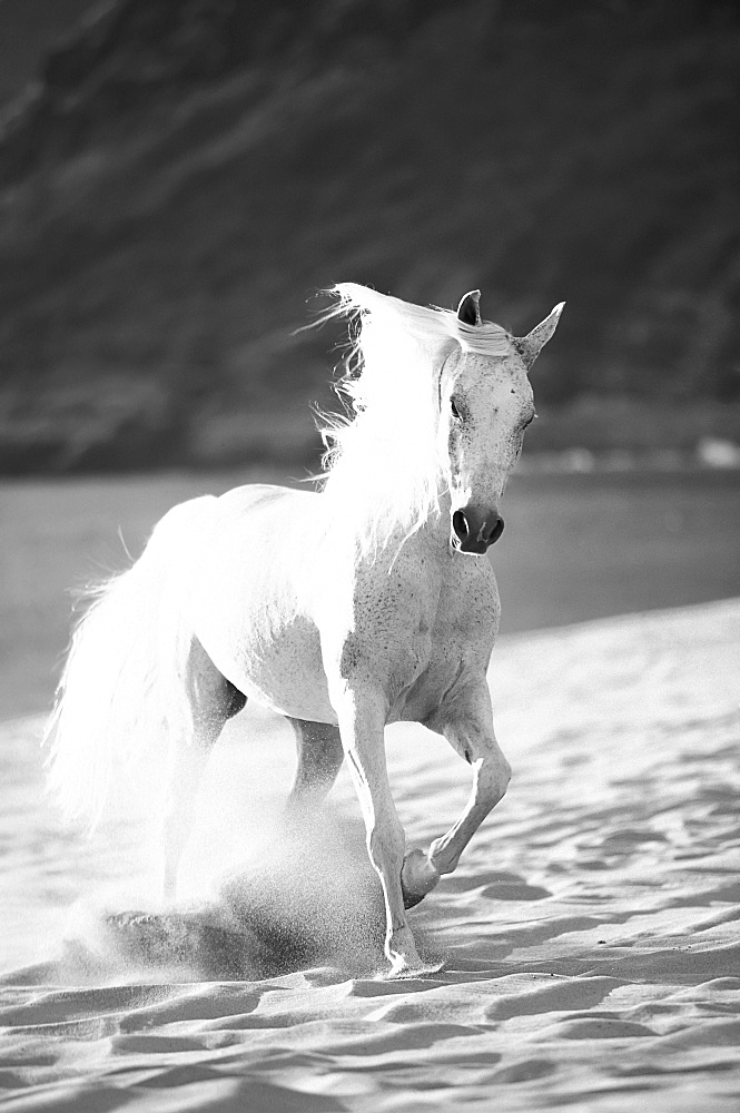 Black and white image of a white horse running on the beach, Hawaii, United States of America