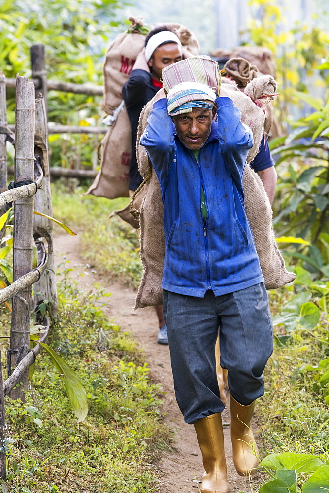 Indian men carrying large sacks on their backs down a path, Sikkim, India
