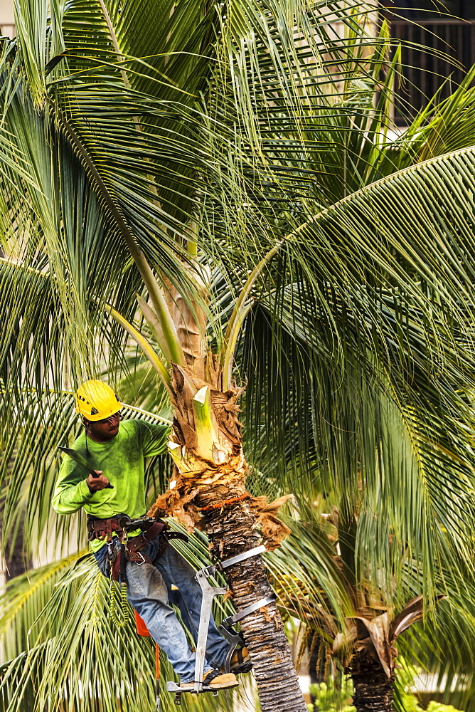 Coconut palm tree (Cocos nucifera) growing on the grounds of the King Kamehameha Hotel, Kailua-Hona, the Big Island, Hawaii, being pruned by Kellys Tree Service during the summer, Kailua- Kona, Island of Hawaii, Hawaii, United States of America