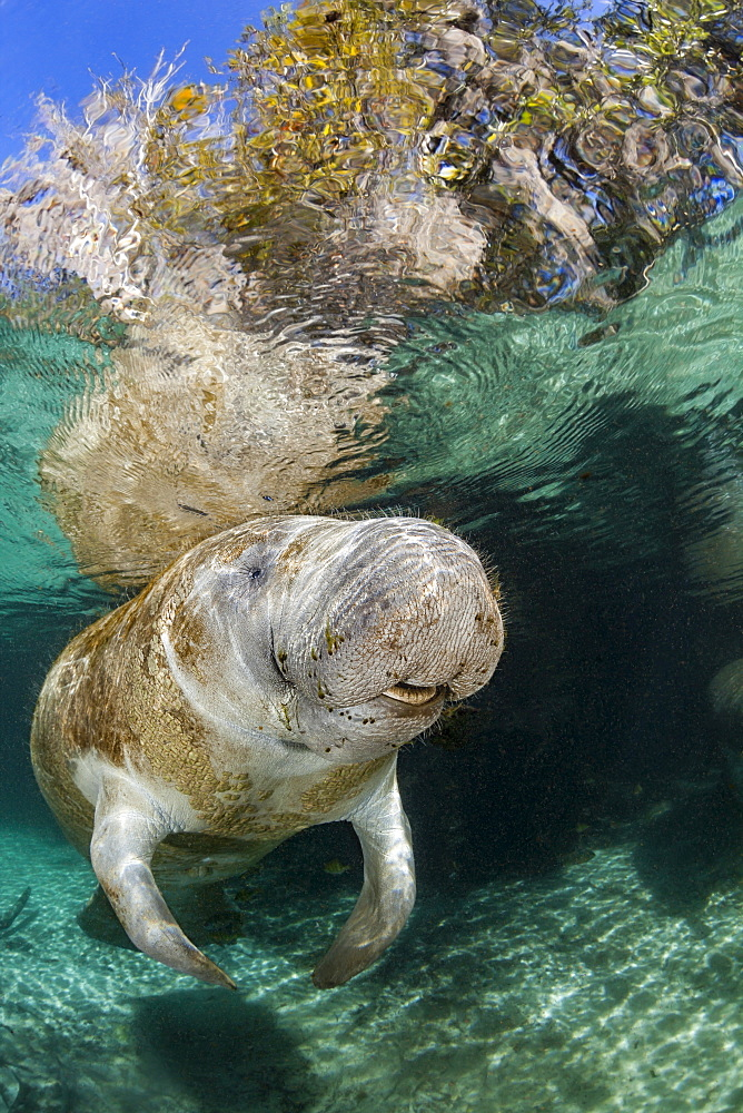 Endangered Florida Manatee (Trichechus manatus latirostris) at Three Sisters Spring. The Florida Manatee is a subspecies of the West Indian Manatee, Crystal River, Florida, United States of America