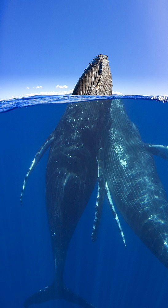 A split image of a pair of humpback whales (Megaptera novaeangliae) underwater and above, Maui, Hawaii, United States of America