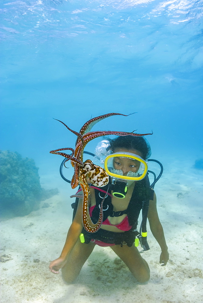 Cautious and curious at the same time, a diver gets a good look at a day octopus (Octopus cyanea), Rarotonga, Cook Islands
