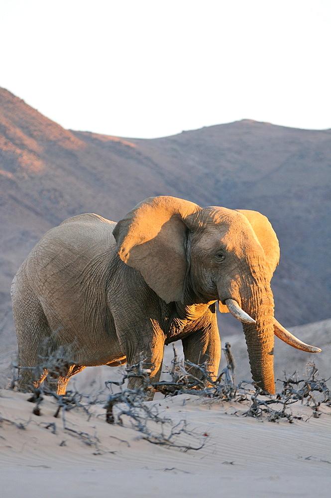 Bull desert elephant, Damaraland, Namibia, Africa - 1125-159