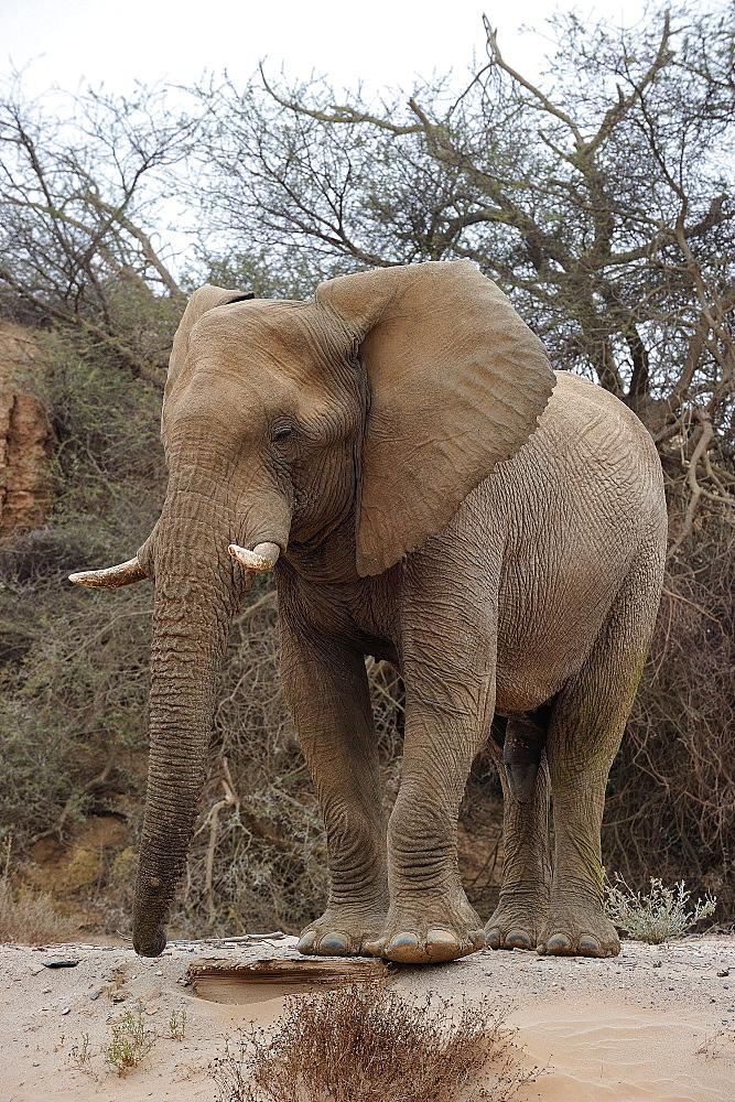 Bull desert elephant, Damaraland, Namibia, Africa - 1125-162