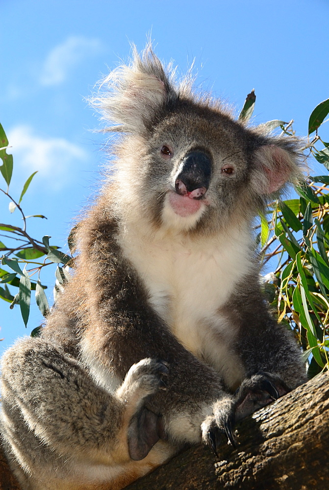 Koala bear, Melbourne, Victoria, Australia, Pacific