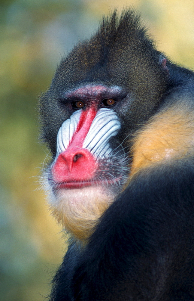 Mandrill, male / (Papio sphinx)