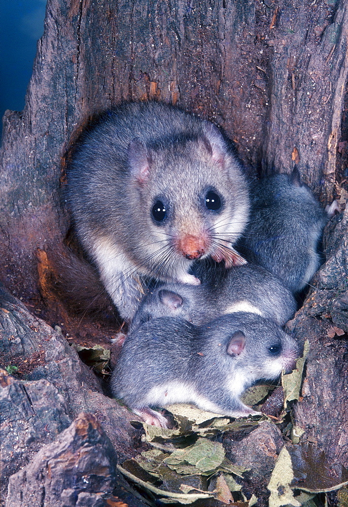 Edible Dormouse with youngs in nest / (Glis glis)