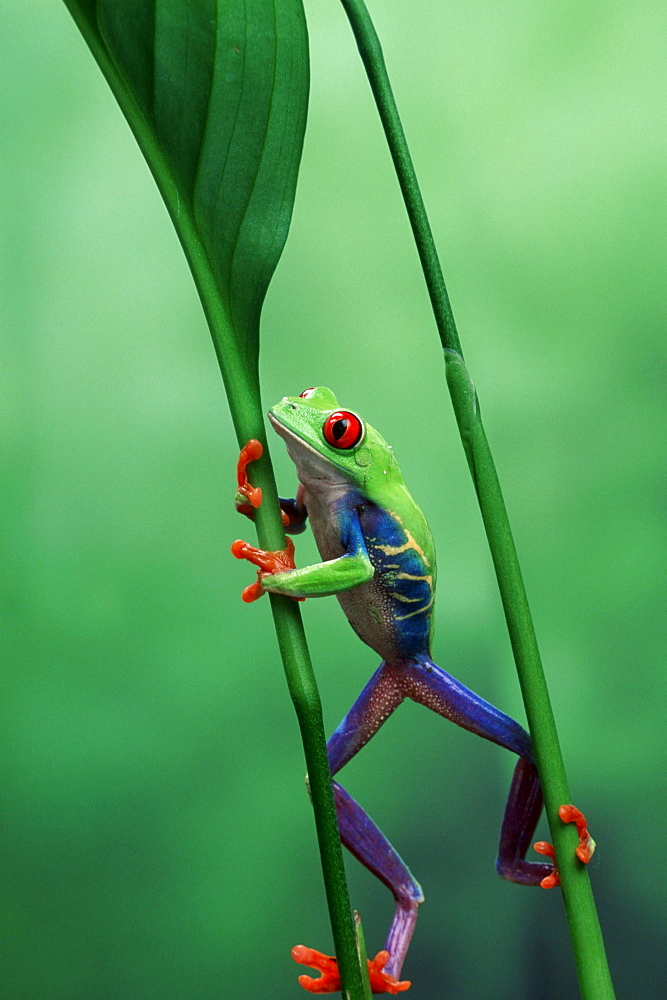 Red-eyed Tree Frog, male / (Agalychnis callidryas)