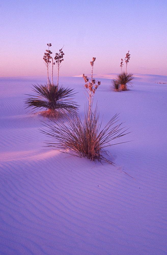 Yucca Tree Soap in desert, White Sands national monument, New Mexico, USA / (Yucca filamentosa)